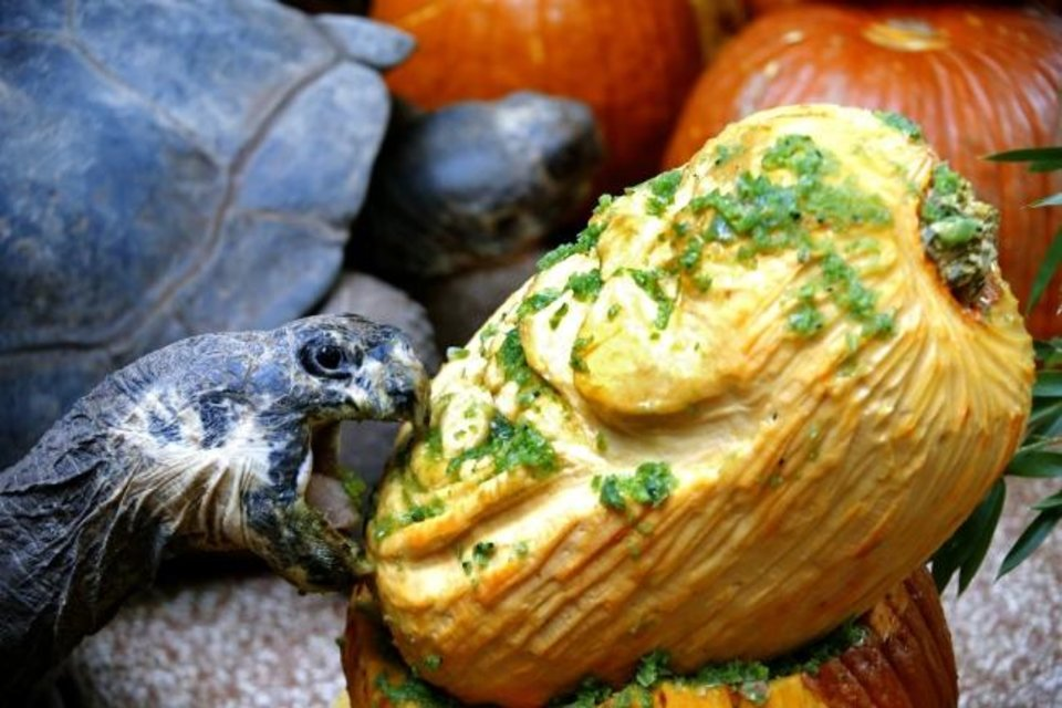Photo -  A Galapagos tortoise eats a pumpkin Oct. 18, 2019, during the Oklahoma City Zoo and Botanical Garden annual Chomp and Stomp Halloween-themed enrichment event. [Sarah Phipps/The Oklahoman Archives]