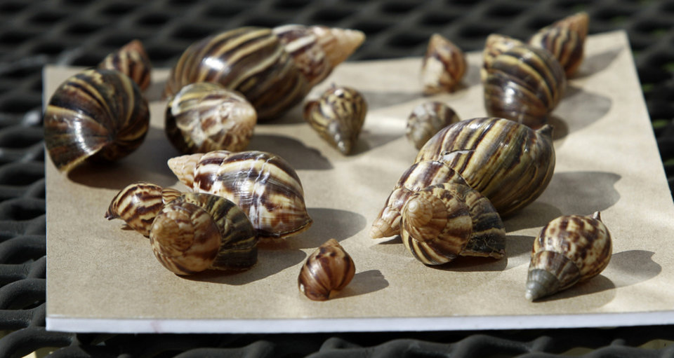 Photo - FILE -This Sept. 30, 2011 file photo shows a collection of giant African land snails in Miami. The Giant African Snail eats buildings, destroys crops and can cause meningitis in humans. But some people still want to collect, and even eat, the slimy invaders. The Department of Agriculture is trying to stop them. Since June, USDA has seized more than 1,200 of the large snails, also known as Giant African Land Snails, all of them traced back to one person in Georgia who was illegally selling them. (AP Photo/J Pat Carter, File)
