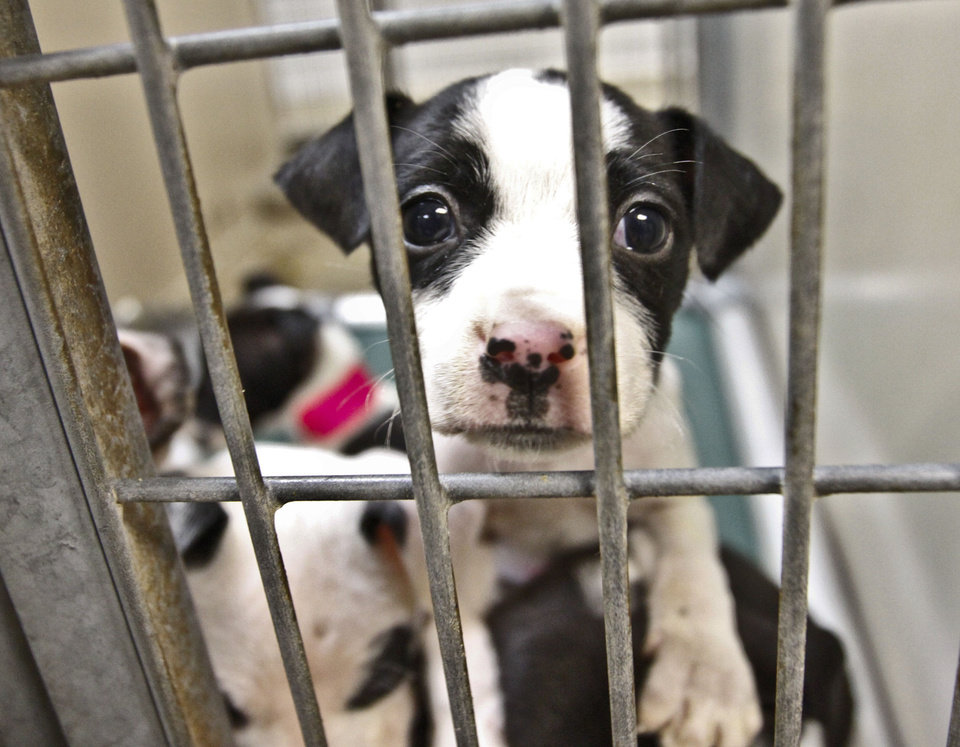 Photo - A puppy awaits adoption Friday at the Oklahoma City Animal Shelter. The shelter is holding a Valentine's Day special with half-price adoptions all week and special activities Sunday.  CHRIS LANDSBERGER - The Oklahoman