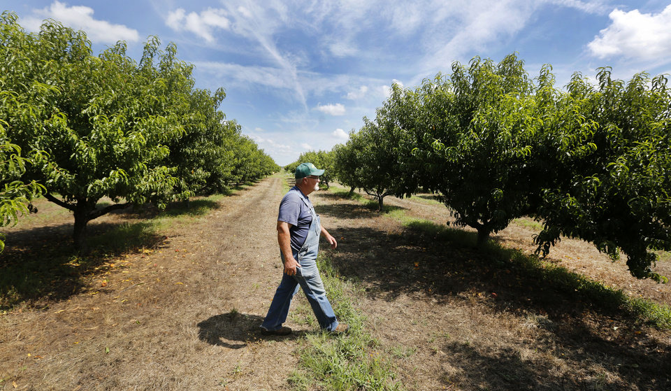 Craig Pullen walks through peach trees at the Pullen Peach Farm in Stratford Thursday. Photo By Steve Gooch, The Oklahoman <strong>Steve Gooch - The Oklahoman</strong>