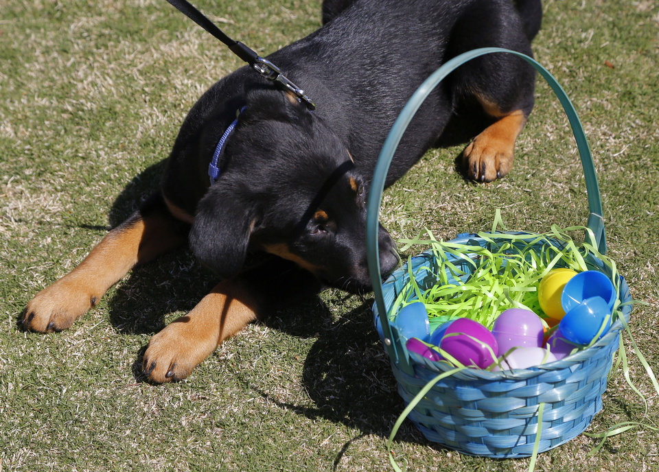 Photo - Tucker, a three-month-old German shepherd mix, sniffs the eggs in his Easter basket after the doggy hunt. This is Tucker's first egg hunt, said his owner, Sarah Tonseth of Oklahoma City. An estimated 600 children participated in multiple Easter Egg Hunts Saturday, March 26, 2016, at Myriad Botanical Gardens. More than 3,000 colorful plastic eggs, filled with candy and prizes, were hidden throughout the Children's Garden. The hunts were divided into age categories, ranging from ages four and under through ages 5 to 10.  135 dogs of all various breeds participated in the Doggy Egg Hunt. Photo by Jim Beckel, The Oklahoman.