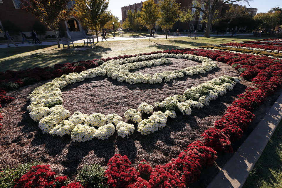 Photo -  Timed to bloom for homecoming weekend, the chrysanthemum gardens on the University of Oklahoma's South Oval celebrate OU's logo in colors of crimson and cream. PHOTO BY STEVE SISNEY, THE OKLAHOMAN   STEVE SISNEY -
