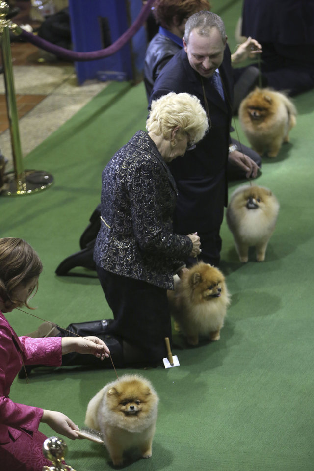 Pomeranians are shown in the ring during the 137th Westminster Kennel Club dog show, Monday, Feb. 11, 2013 in New York.  (AP Photo/Mary Altaffer) ORG XMIT: NYMA109