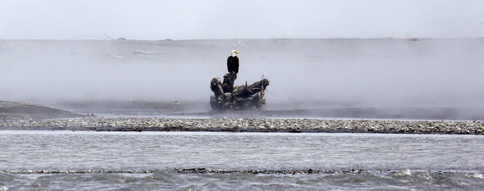 Photo - In this June 3, 2014 photo, a bald eagle stands perched on driftwood at the mouth of the Elwha River near Port Angeles, Wash. The final chunks of concrete are expected to fall this September in the nation's largest dam removal project, but nature is already reclaiming the Elwha River on Washington's Olympic Peninsula. (AP Photo/Elaine Thompson)