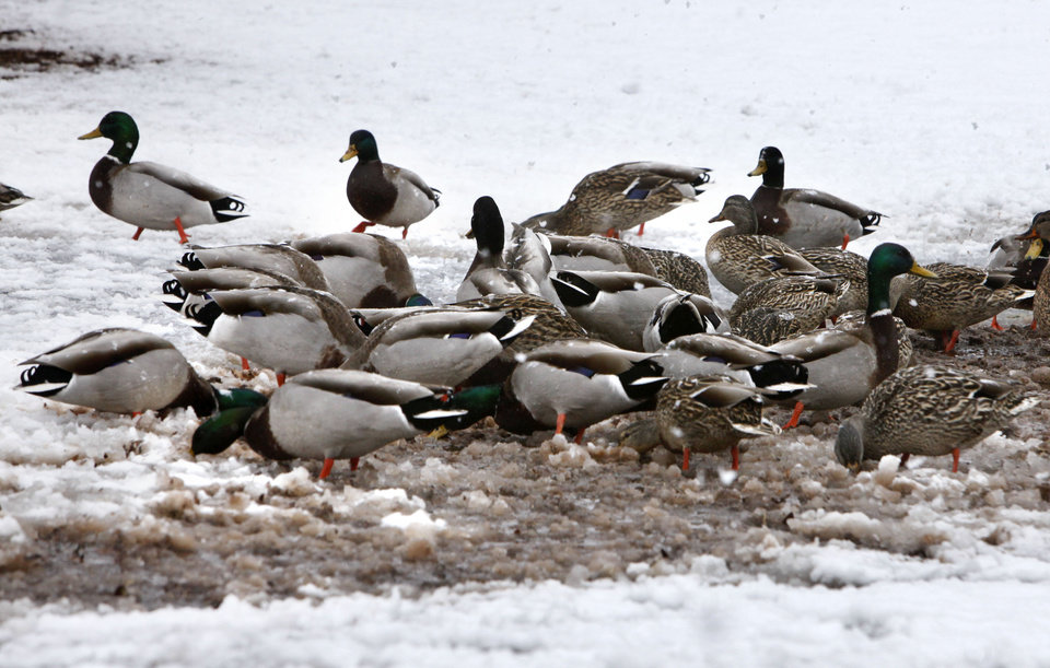 Photo - Ducks clear an area of snow while looking for food at Hafer Park in Edmond, OK, Tuesday, February 12, 2013,  By Paul Hellstern, The Oklahoman