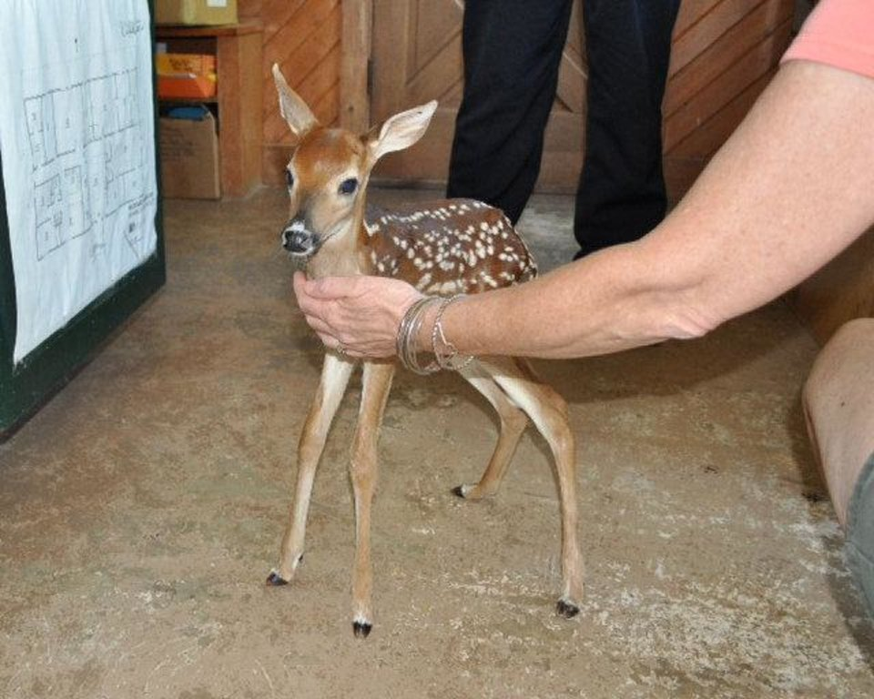 Photo - This fawn, estimated to be less than six days old, was rescued by Oklahoma City Master Sgt. Jeff Tanksley. Photo provided