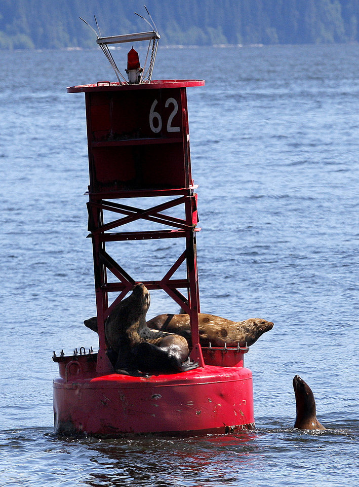 Photo - A group of Steller Sea Lions sit on a buoy in near the docks at Petersburg, Alaska, Monday, June 4, 2012.  Photo by Sarah Phipps, The Oklahoman
