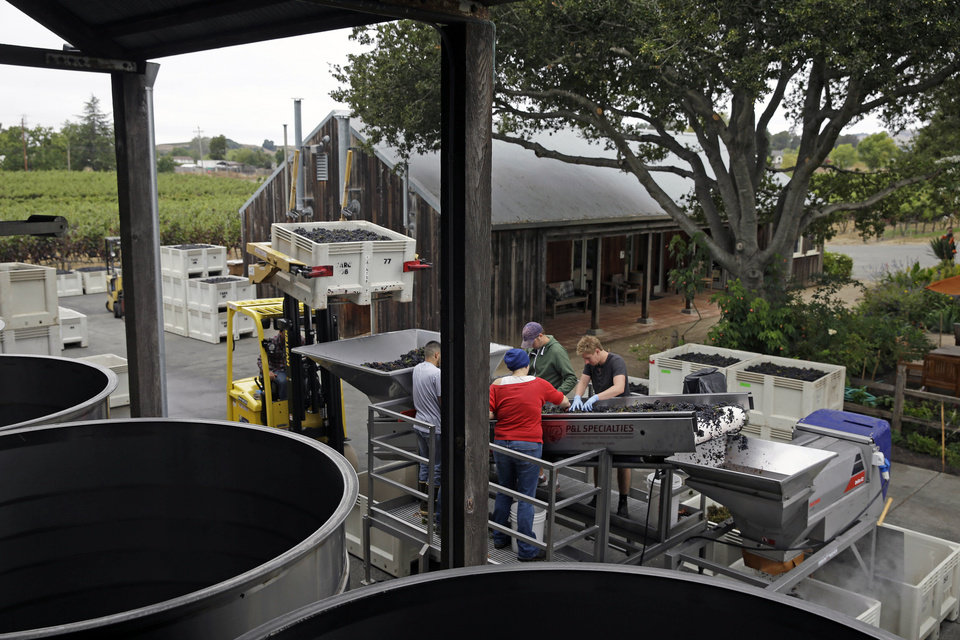 Photo - Cellar workers sort Pinot Noir grapes as they go into a destemmer during the first day of harvest at Saintsbury winery Friday, Aug. 29, 2014, in Napa, Calif. The winery began its harvest four days late after sustaining earthquake damage on Sunday. The winery also lost half its library of wines. (AP Photo/Eric Risberg)