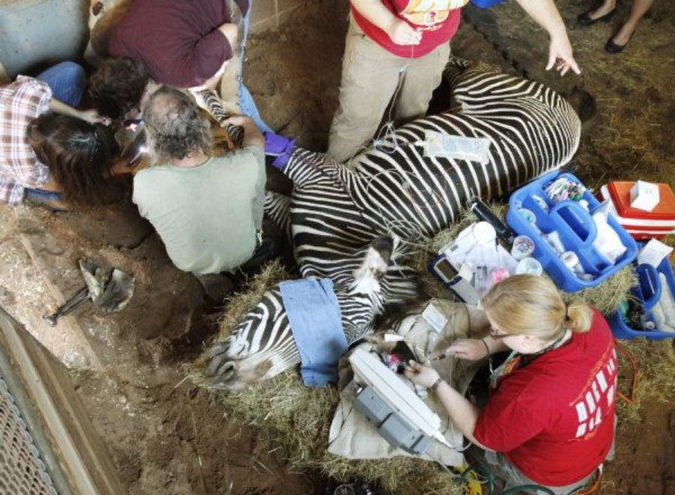 Photo - ZEBRA HOOF TREATMENT: Work is done to treat an abscessed hoof on