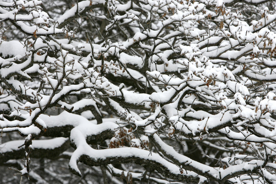 Photo - Bare Oak limbs support inches of fresh snow in Edmond, Okla., Saturday, Jan. 30, 2010. By Paul Hellstern, The Oklahoman