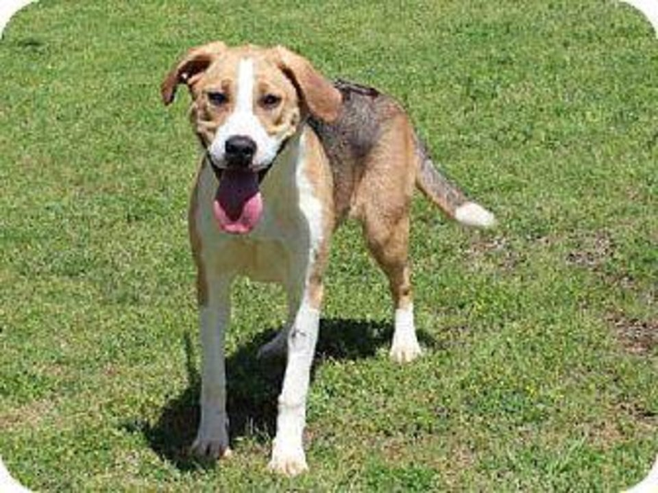Photo - Twizzler is a beagle mix with a great attitude and lots of love to give.  Twizzler is 1 year old, weighs about 39 pounds and is available at the Edmond Animal Welfare Shelter.