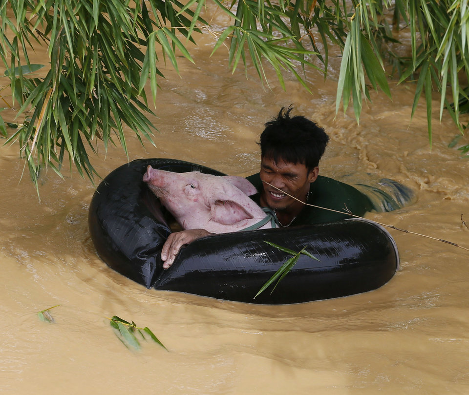 Photo - A resident uses an inflated tire interior to bring a pig to safety amidst raging floodwaters brought about by Typhoon Koppu at Zaragosa township, Nueva Ecija province, north of Manila, Philippines Monday, Oct. 19, 2015. Army, police and civilian volunteers scrambled Monday to rescue hundreds of villagers trapped in their flooded homes and on rooftops in a northern Philippine province battered by slow-moving Typhoon Koppu. (AP Photo/Bullit Marquez)