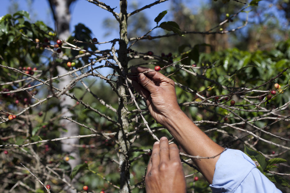Photo - FILE - In this Feb. 9, 2013, file photo, small coffee producer Hector Perez show coffee beans damaged by the roya fungus in San Gaspar Vivar, Guatemala. The U.S. government is stepping up efforts to help Central American farmers fight a devastating coffee disease _ and to keep the price of your morning cup down. A fungus called coffee rust has already caused more than $1 billion in damage across the Latin American region. It is especially deadly to Arabica coffee, the bean that makes up most high-end, specialty coffees, and it is already affecting the price of some of those coffees in the United States.  (AP Photo/Moises Castillo, File)