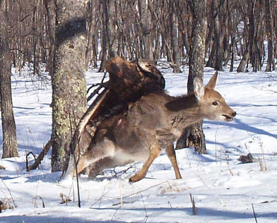 In this photo taken from a remote camera at the Lazovsky State Nature Reserve in the Primorye region of Russia's Far East on Dec. 8, 2011, a golden eagle attacks a deer. Remote cameras set up to track Siberian tigers in Russia have caught a golden eagle attack on a sika deer, snapping three photos as the massive bird digs its talons into the distressed animal's back. Golden eagles typically eat small birds or mammals, but they've also been known to target deer. It's rare for a camera to catch such an attack in progress. (AP Photo/The Zoological Society of London)