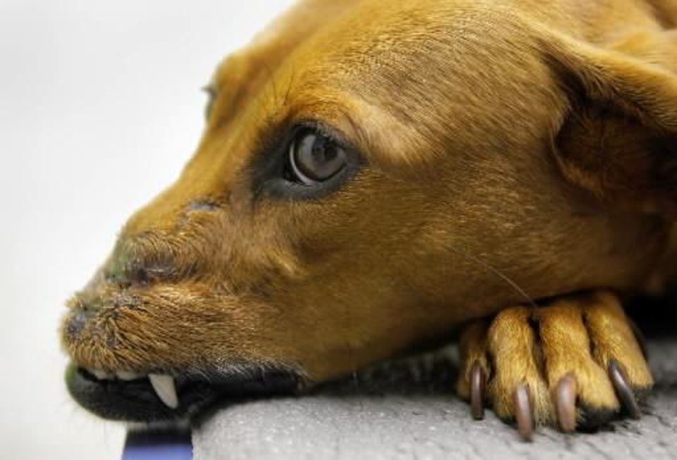 Daisy, a six year old dachshund mix takes a break on the exam room table at the Samll Animal Clinic of Tulsa, OK during a final check up Aug. 5, 2009, of her reconstructive plastic surgery to her nose by Dr. David Russell MICHAEL WYKE/Tulsa World