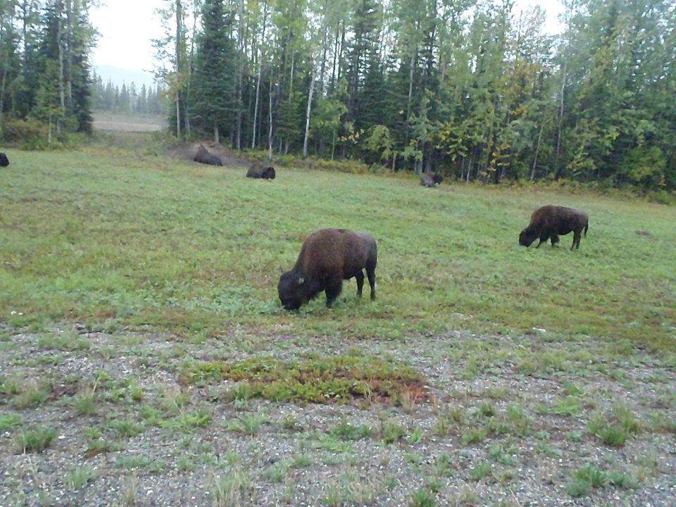 Photo - It's difficult to tell the difference between the Wood buffalo in Alaska and the plains buffalo. PHOTO PROVIDED