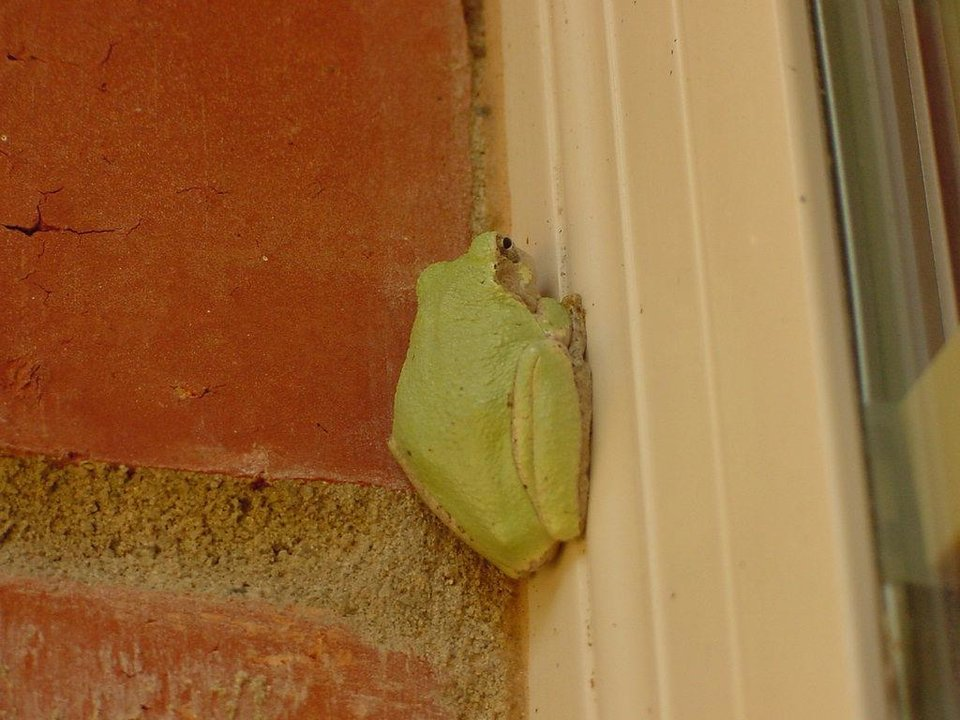 """Tiny Tree Frog""  Spring 07, Harrah, OK<br/><b>Community Photo By:</b> Ed Arnold<br/><b>Submitted By:</b> ed, jones"