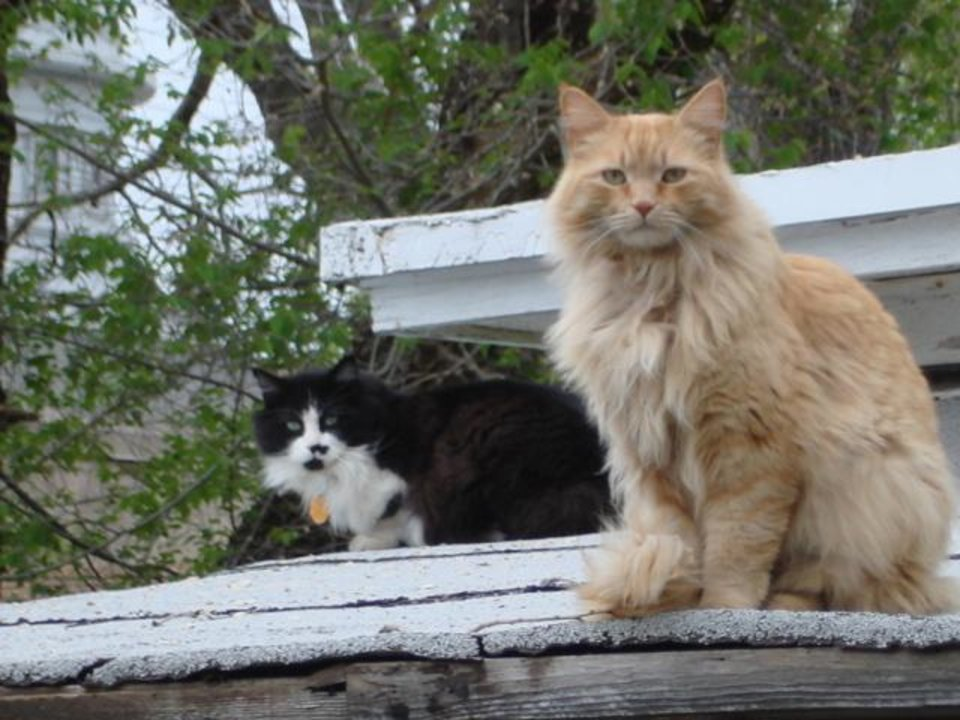 Sometimes my fat cat Marco joins Tigger on the neighbor's roof. Although they don't resemble each other, they are brothers.<br/><b>Community Photo By:</b> Cindy Jurina<br/><b>Submitted By:</b> Cindy, Guthrie