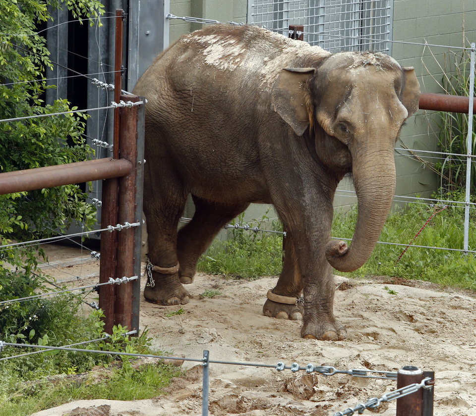 Photo - Asian Elephants Chai checks out her new surroundings at the Oklahoma City Zoo on Wednesday, May 13, 2015 in Oklahoma City, Okla.  Photo by Steve Sisney, The Oklahoman