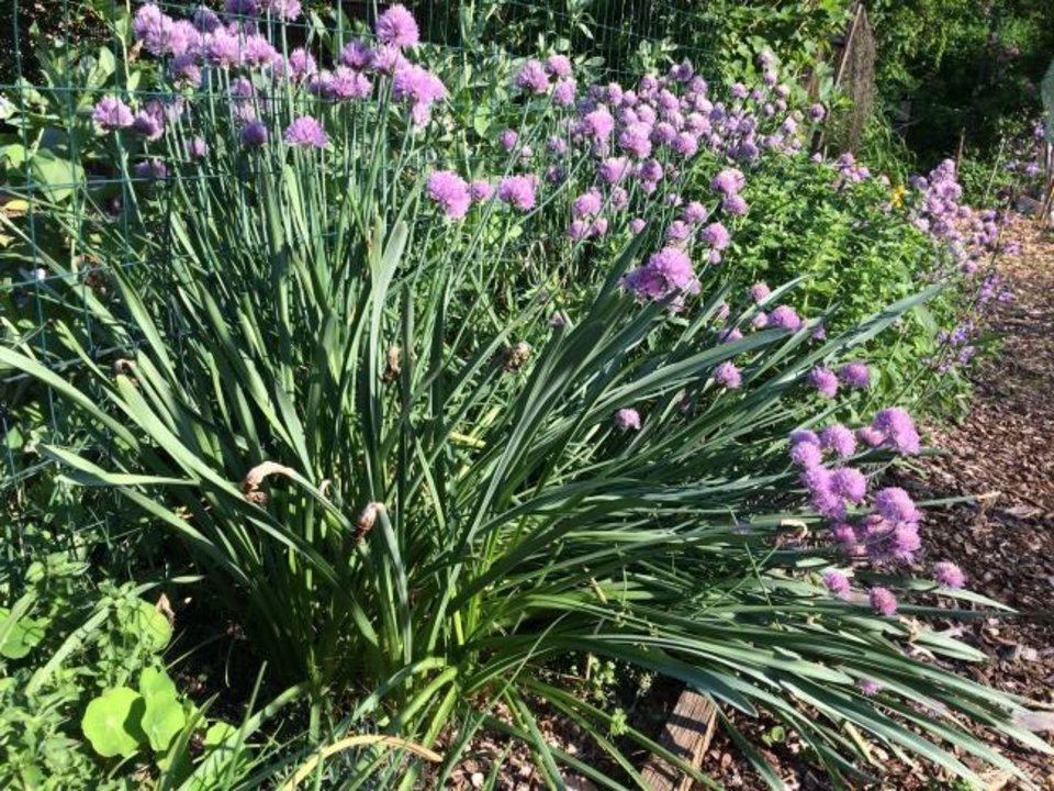 Photo -  Chives are a staple of the culinary garden, and their late spring blossoms transform the most utilitarian plots. Breeders are introducing new colors. [ADRIAN HIGGINS/WASHINGTON POST]