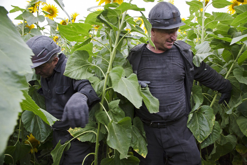 Photo - Ukrainian coal miners wade through a field of sunflowers as they search the site of a crashed Malaysia Airlines passenger plane near the village of Rozsypne, Ukraine, eastern Ukraine Friday, July 18, 2014. Rescue workers, policemen and even off-duty coal miners were combing a sprawling area in eastern Ukraine near the Russian border where the Malaysian plane ended up in burning pieces Thursday, killing all 298 aboard. (AP Photo/Dmitry Lovetsky)