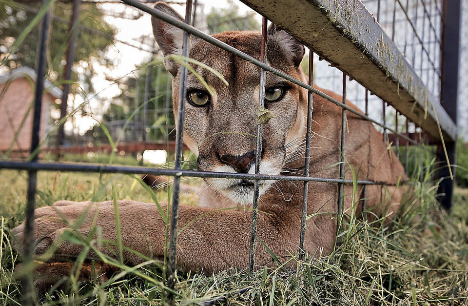 Photo - Zinnia lies next to the fence as she stays cool from the heat in her facility at the home of cougar rescuer and owner Leah Aufill on Friday, July 28, 2013 in Perkins, Okla. Zinnia weighs about 150 pounds, and has been hand raised by Aufill from just after birth. Aufill's home is a complete facility that allows her to house and rescue cougars.    Photo by Chris Landsberger, The Oklahoman