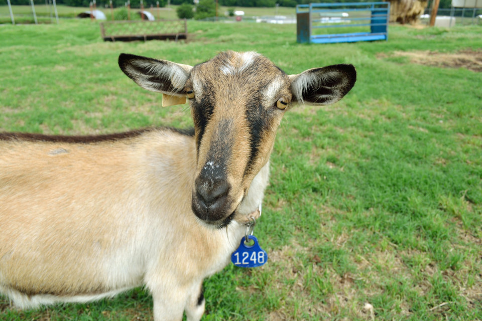 Photo -  An alpine greets the camera with a smile. The goat is part of Langston University's goat research program. Photo by Paris Burris, The Oklahoman   Paris Burris