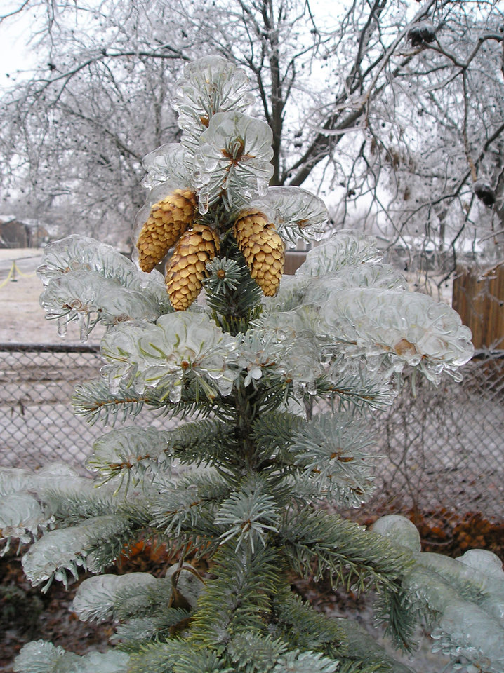 Pine Cones weather the ice storm<br/><b>Community Photo By:</b> C.C.<br/><b>Submitted By:</b> C, Bethany