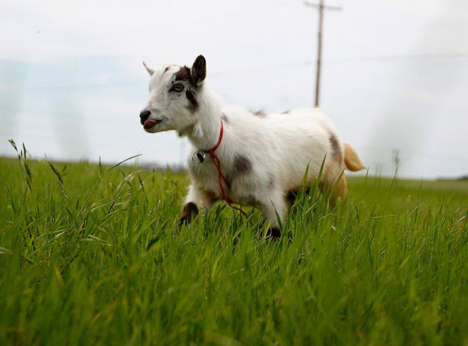 "Wrigley the goat walks in a field next to Wilshire Road in Oklahoma City, Tuesday, Jan. 8, 2008. The groups is walking with a a goat  to ""Crack the Curse"" of the Chicago Cubs and to raise money for Fred Hutchinson Cancer Research Center  by walking 19,000 miles. Photo by Sarah Phipps, The Oklahoman."