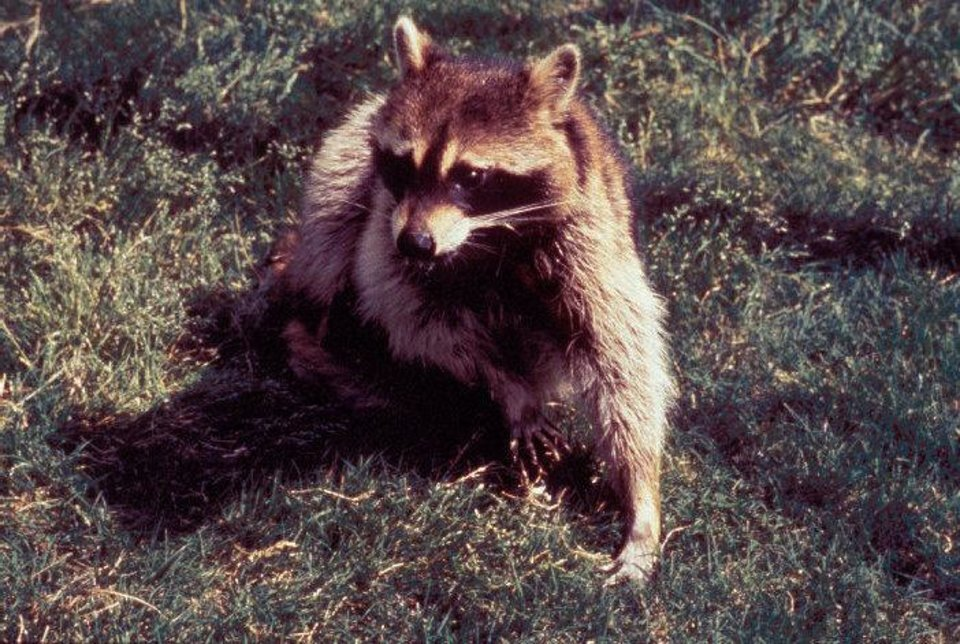 Photo - Raccoons can be vectors of the rabies virus, transmitting the virus to humans and other animals. The vast majority of rabies cases reported to the Centers for Disease Control and Prevention each year occur in wild animals like raccoons, skunks, bats, and foxes. Centers for Disease Control and Prevention photo