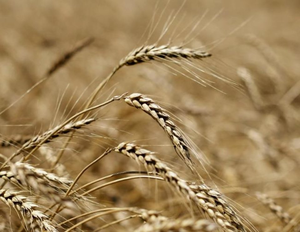 Photo -  Wheat waits for drier ground so that it can be harvested from David VonTungeln's farm near Calumet. [JIM BECKEL/THE OKLAHOMAN]