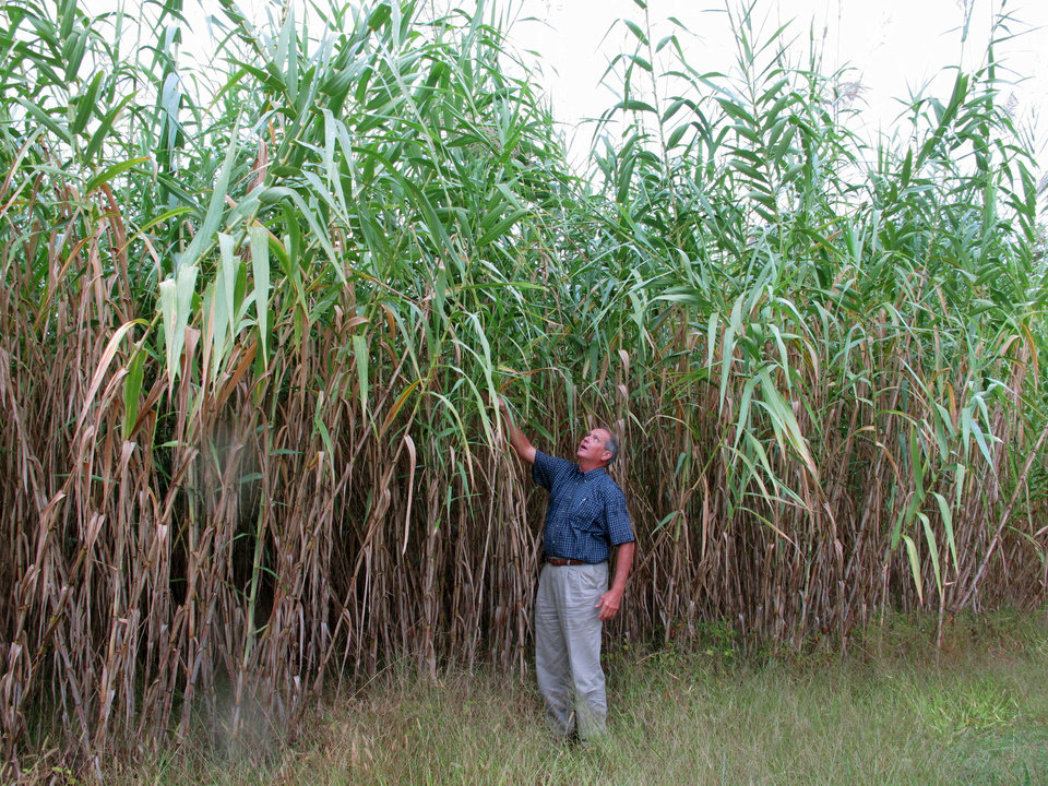 In this Monday, Oct. 1, 2012 photo, farming director Sam Brake is dwarfed by a stand of Arundo donax in a test plot at the Biofuels Center for North Carolina in Oxford, N.C. The center is promoting Arundo, a known invasive that is already banned in at least three states. (AP Photo/Allen Breed)
