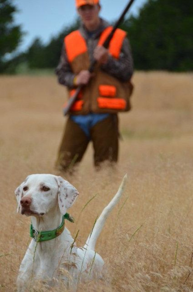 "An English Pointer ""gets birdy"" on a hunt for bobwhite quail in western Oklahoma. Quail season opens Saturday in Oklahoma. <strong>Photo by Wade Free</strong>"