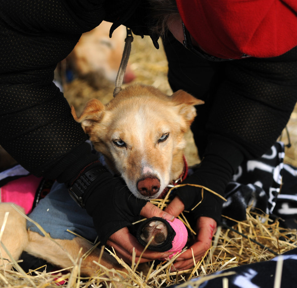 Photo - Iditarod musher Aliy Zirkle, from Two Rivers, Alaska, works with her dog team at the White Mountain checkpoint during the 2014 Iditarod Trail Sled Dog Race on Monday, March 10, 2014. Zirkle has her out time for the checkpoint written on her finger. (AP Photo/The Anchorage Daily News, Bob Hallinen)