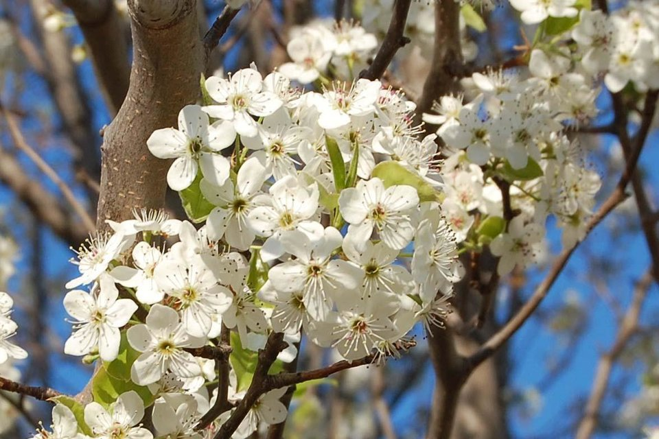 Bradford Pear blooms in Bethany<br/><b>Community Photo By:</b> Cindi Tennison<br/><b>Submitted By:</b> Cindi , Bethany