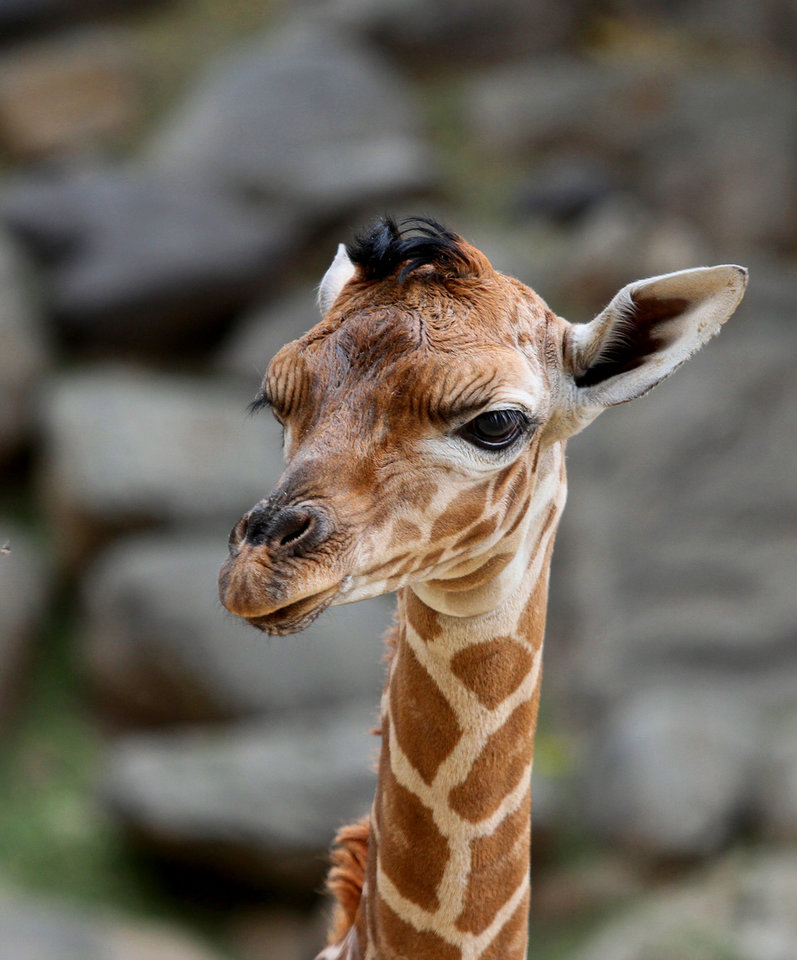 This Sept. 23, 2012 photo provided by Utah's Hogle Zoo shows a baby giraffe shortly after her birth at the zoo. The new baby giraffe and her mother Kipenzi went on display at Utah's Hogle Zoo for the first time on Oct. 3, 2012. (AP Photo/Utah's Hogle Zoo)