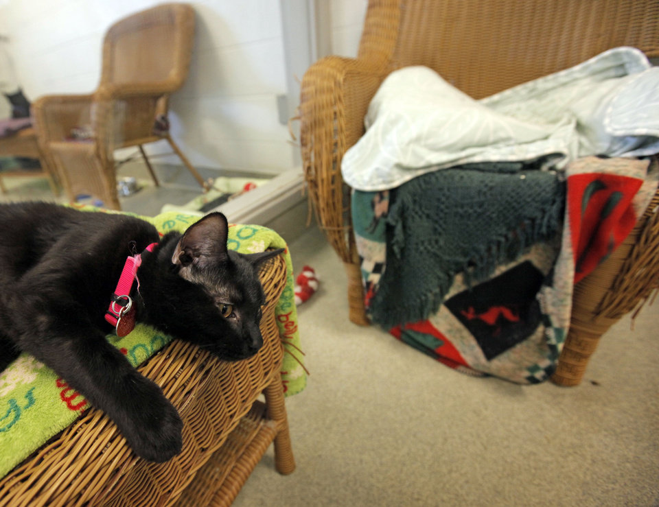 Photo - Snookums (A103235), a female cat, rests in the cat adoption area at the Oklahoma City Animal Shelter this month.  NATE BILLINGS - The Oklahoman