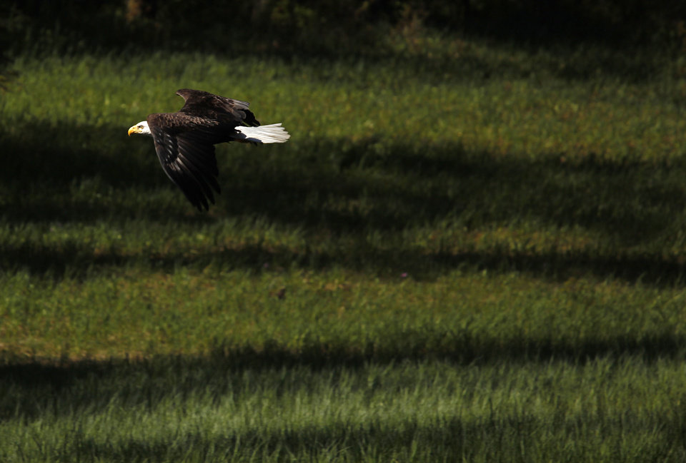 Photo - A Bald eagle flys in Ideal Cove in Southeast Alaksa, Monday, June 4, 2012.  Photo by Sarah Phipps, The Oklahoman
