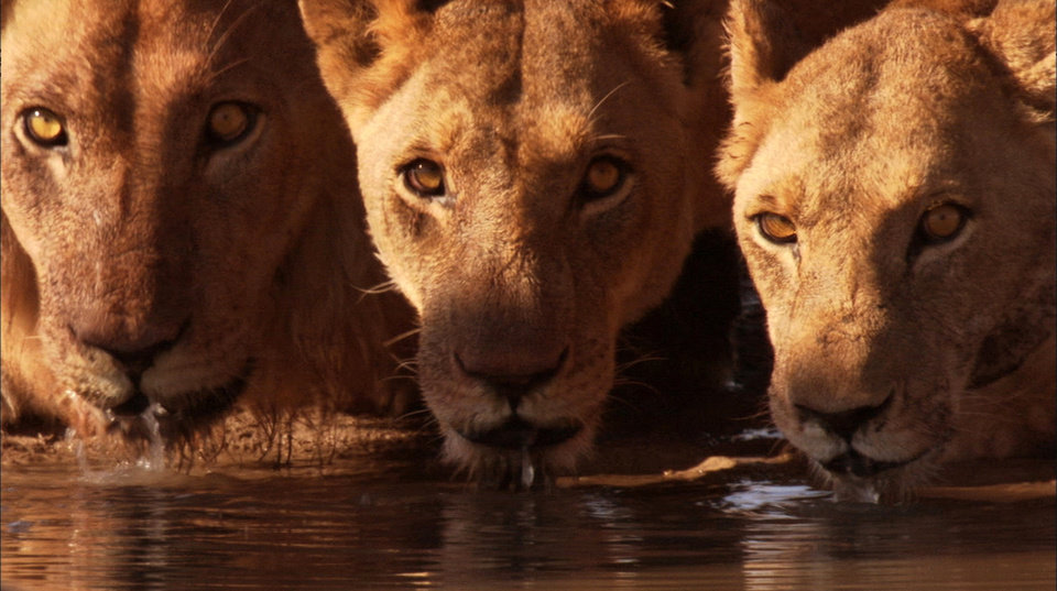 Photo - In this film publicity image released by Disney/BBC Worldwide Ltd., lions wait for dark to fall before attempting to hunt elephants in the Kalahari Desert, Botswana, in a scene from the nature film,