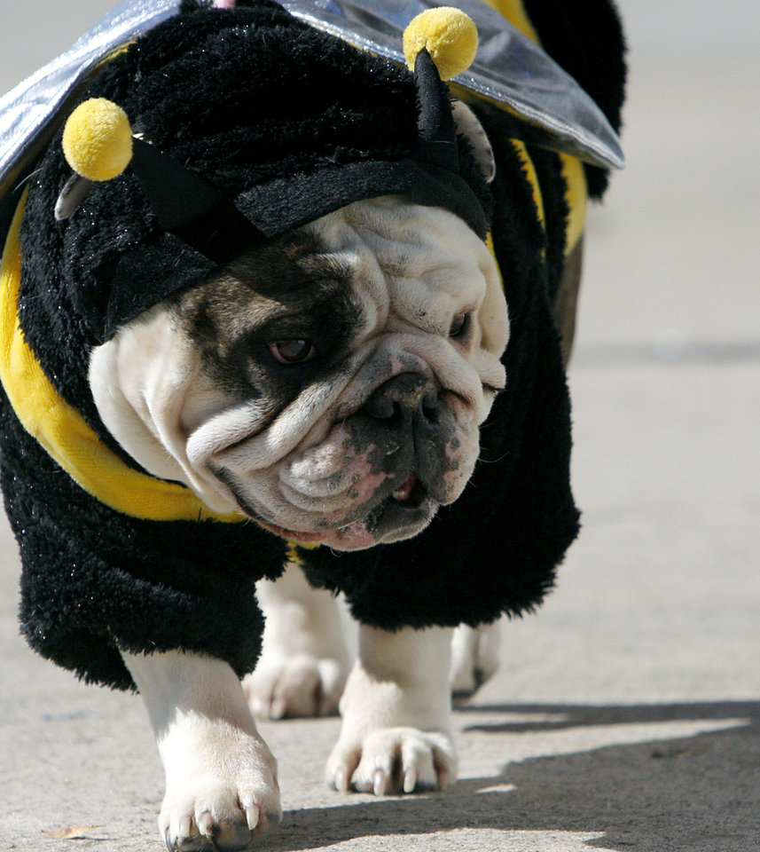 Photo - DOG COSTUME / HALLOWEEN: Bella, an English bulldog, who lives in Norman with her owner Jill Miller, walks down the street dressed as a bumblebee during an event at Campus Corner in Norman on Sunday, October 26, 2008. By John Clanton, The Oklahoman    ORG XMIT: KOD