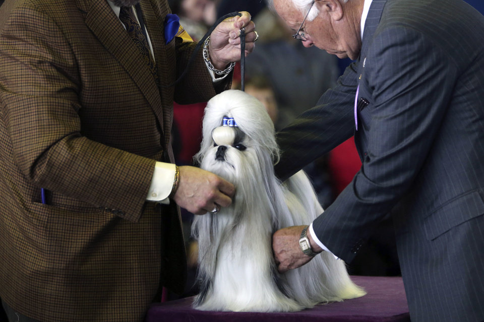 A Shih Tzu is inspected by a judge during competition of the 137th Westminster Kennel Club dog show, Monday, Feb. 11, 2013, in New York. (AP Photo/Mary Altaffer) ORG XMIT: NYMA115