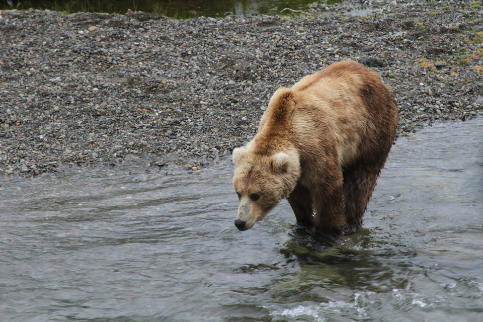 Photo - A brown bear looks for food near the Brooks Falls viewing area in Katmai National Park and Preserve, Alaska on July 4, 2013. (AP Photo/Mark Thiessen)