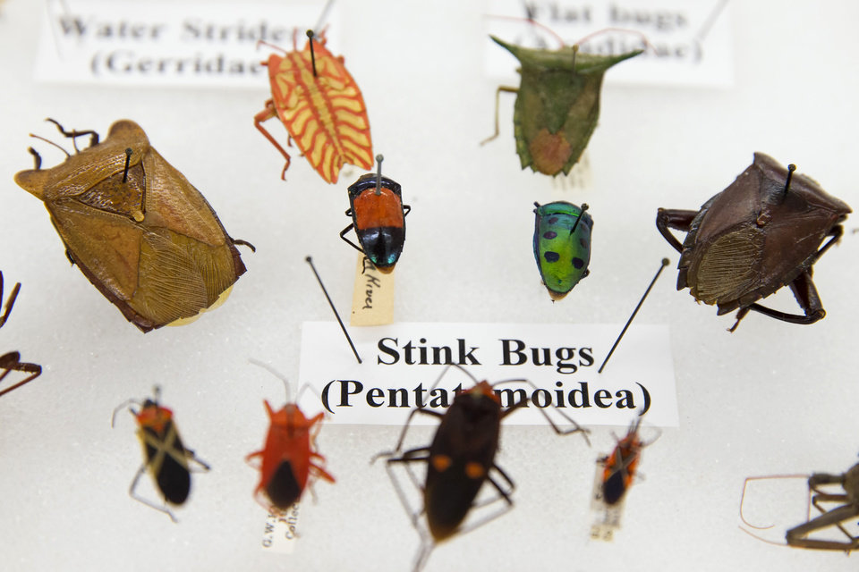 Photo - This photo taken June 5, 2014 shows various bugs on display as part of the Drake bug collection, at the Smithsonian Natural History Museum in Washington. When Dr. Carl J. Drake died in 1965 he left the Smithsonian's National Museum of Natural History $250,000 and his collection of thousands of bugs. Drake, an entomologist, spent his life studying insects, and he gave the Smithsonian a mission for his money: buy more bugs. After nearly half a century, however, the Smithsonian is having a hard time following the directives of Drake's will. (AP Photo/ Evan Vucci)