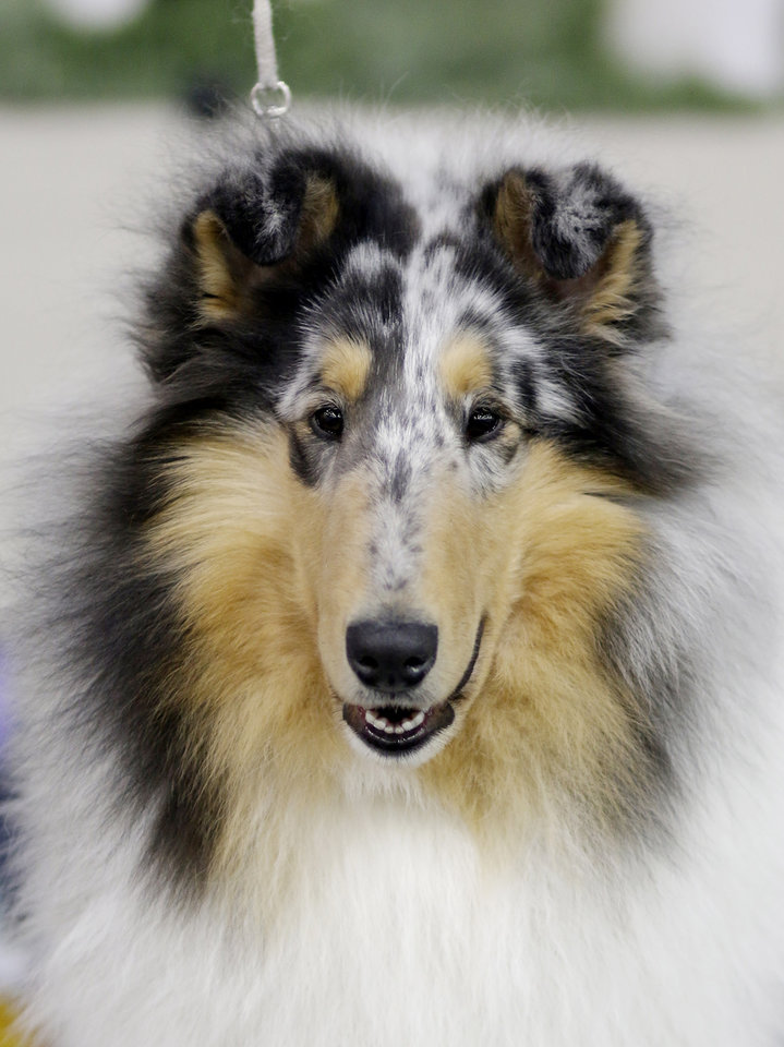 Photo - Rough blue merle Kade, Owned by Vickie Vonseggern, of Merrill, WI, and shown by Larry and Nancy Parsons, poses for the camera at the Collie Club of America dog show at the Cox Convention Center in  Oklahoma City, walk their dogs in the Myriad Boatanical Gardens, Wednesday, March 11, 2015. Photo by Doug Hoke, The Oklahoman