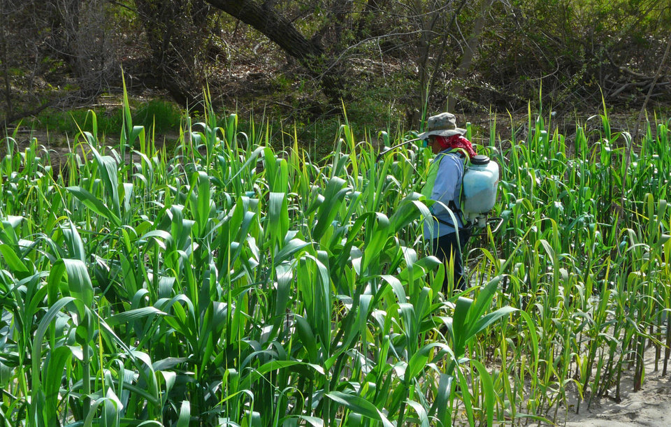 In this March 5, 2012 photo provided by Dendra Inc., a worker from the San Diego River Conservancy sprays previously-mowed, re-sprouting Arundo donax in Santee, Calif. California has spent more than $70 million trying to eradicate the invasive, self-propagating perennial. (AP Photo/Dendra Inc., Jason Giessow)