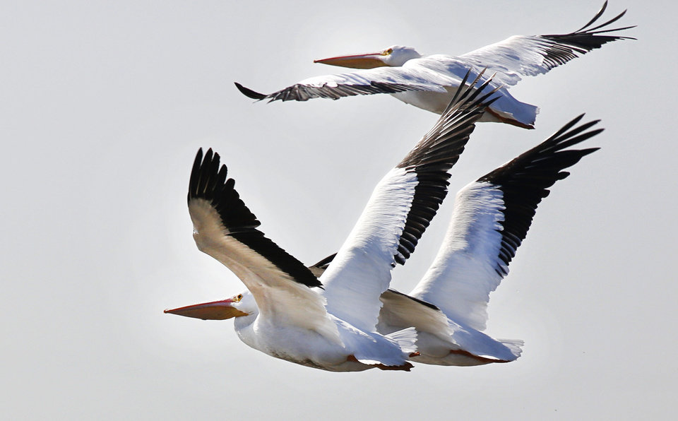 Photo - White pelicans take flight at Lake Overholser in Oklahoma City on Monday. A flock of pelicans rest at the lake during their migration to the Gulf Coast. Pelicans are annually spotted by bird watchers during Oklahoma City's annual Christmas Bird Count. PHOTO BY STEVE GOOCH, THE OKLAHOMAN  Steve Gooch