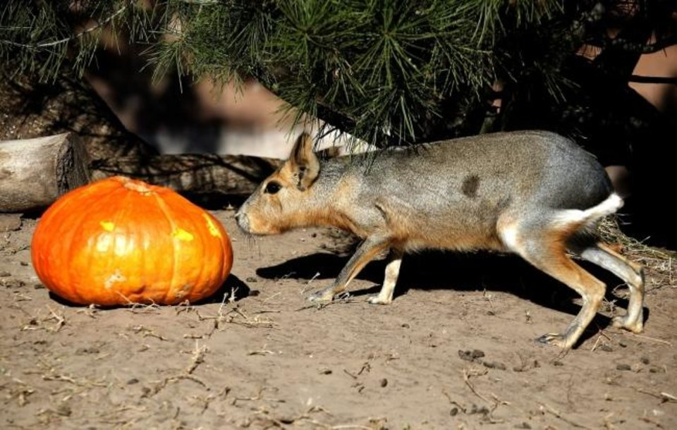 Photo -  A cavy investigates a pumpkin Oct. 18, 2019, during the Oklahoma City Zoo and Botanical Garden annual Chomp and Stomp Halloween-themed enrichment event. [Sarah Phipps/The Oklahoman Archives]