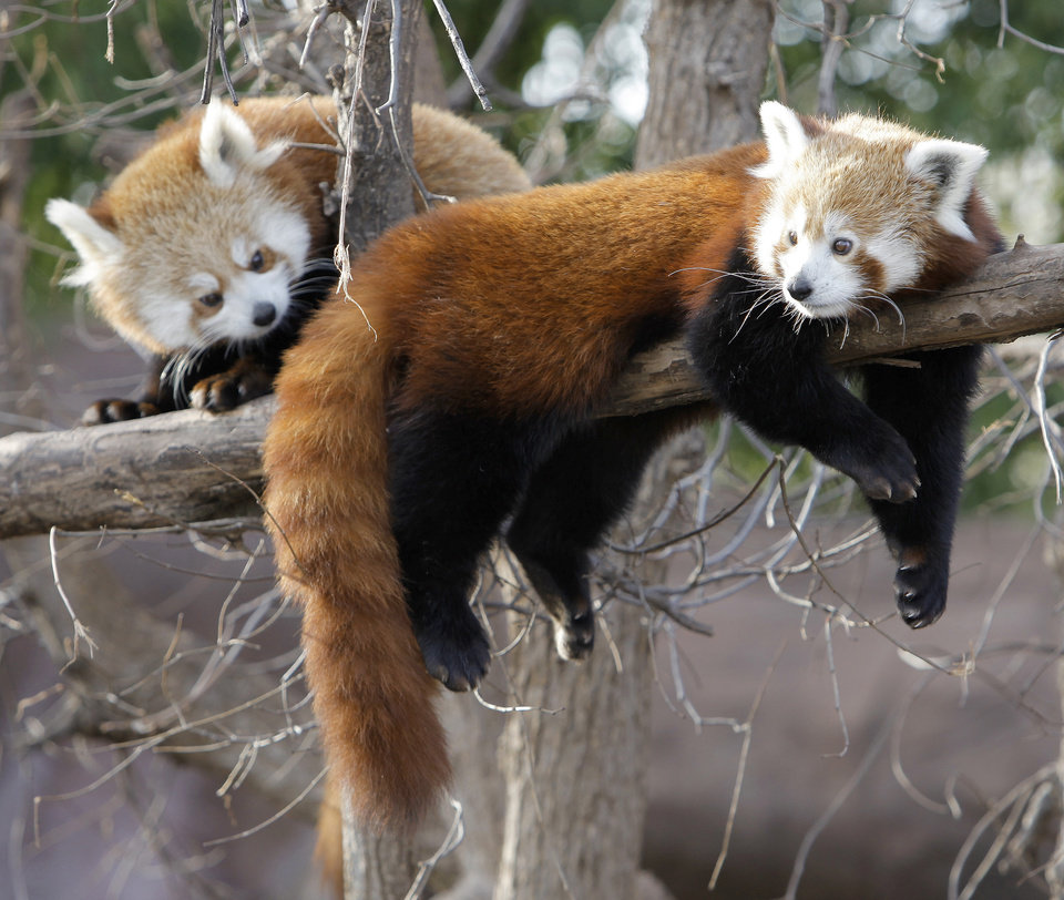 Red pandas lounge around in their exhibit at the Oklahoma City Zoo. Red pandas are some of the zoo animals that enjoy cold weather. In the wild, the animals live in the chilly Himalayas. Photo by Nate Billings, The Oklahoman