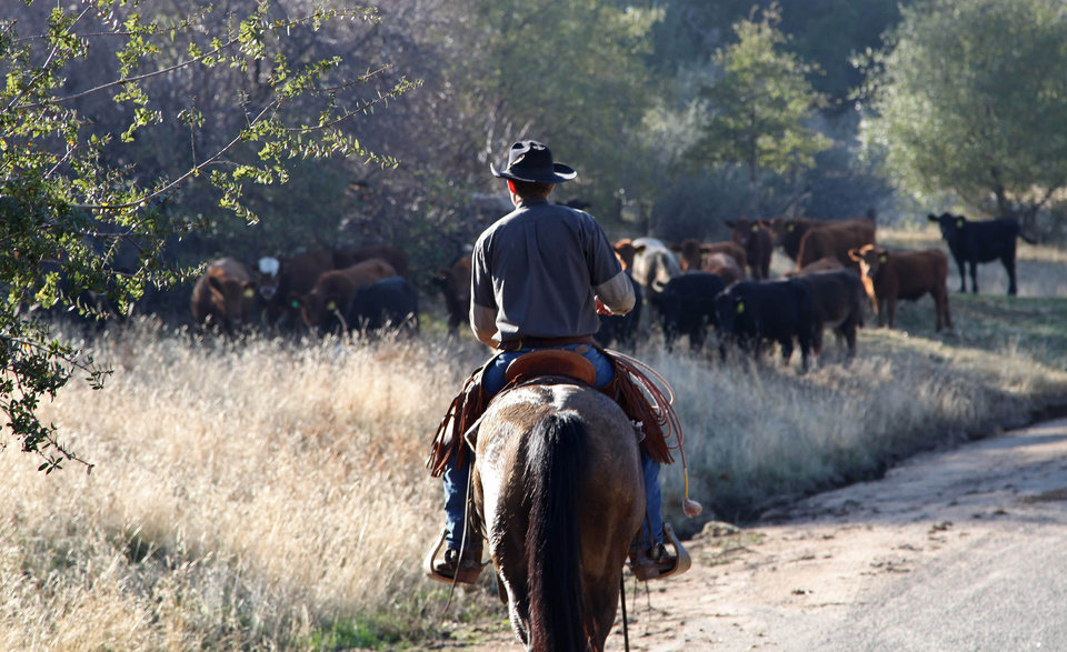 In this photo taken on Nov. 26, 2012 near Friant, Calif., herd manager Logan Page pushes cattle grazing on the Finegold Creek Preserve toward another pasture. The preserve is owned by the Sierra Foothill Conservancy, a Fresno-area land trust that's raising its own beef herd to benefit the environment and to improve its bottom line. (AP Photo/Gosia Wozniacka)