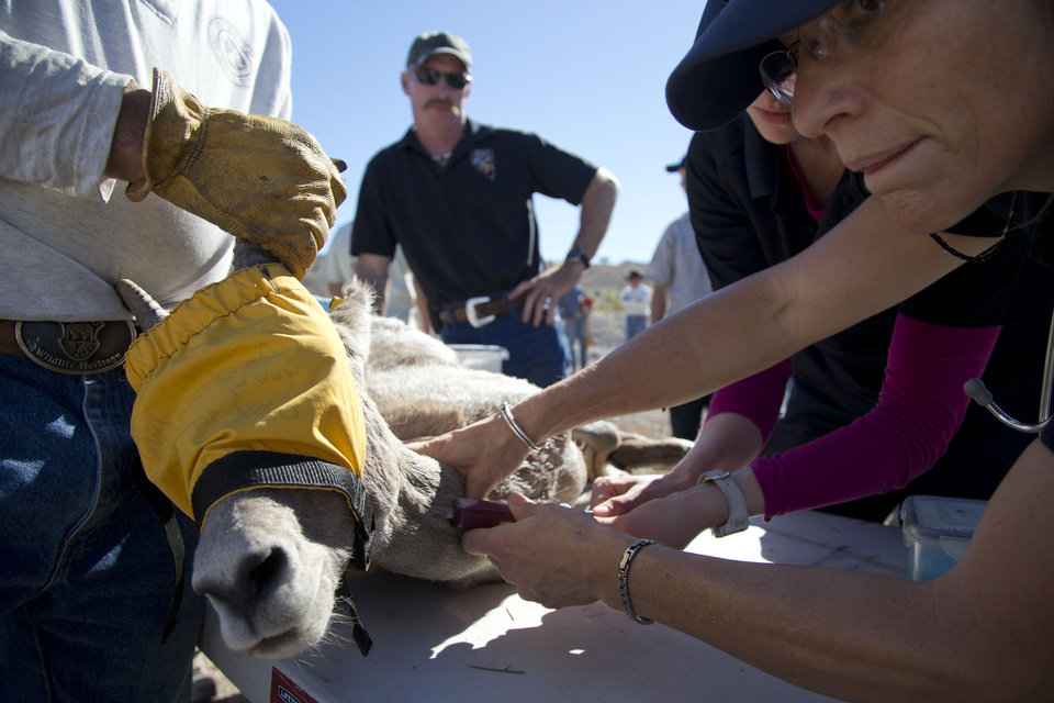 Photo -   In this Wednesday, Oct. 31, 2012 photo, a veterinarian with the Division of Wildlife takes a blood sample from a captured big horn sheep, near Henderson, Nev. In an attempt to help repopulate areas of southern Utah, fifty sheep from the River and Muddy mountains in southern Nevada are being captured for relocation to Grand Staircase National Monument. (AP Photo/Julie Jacobson)